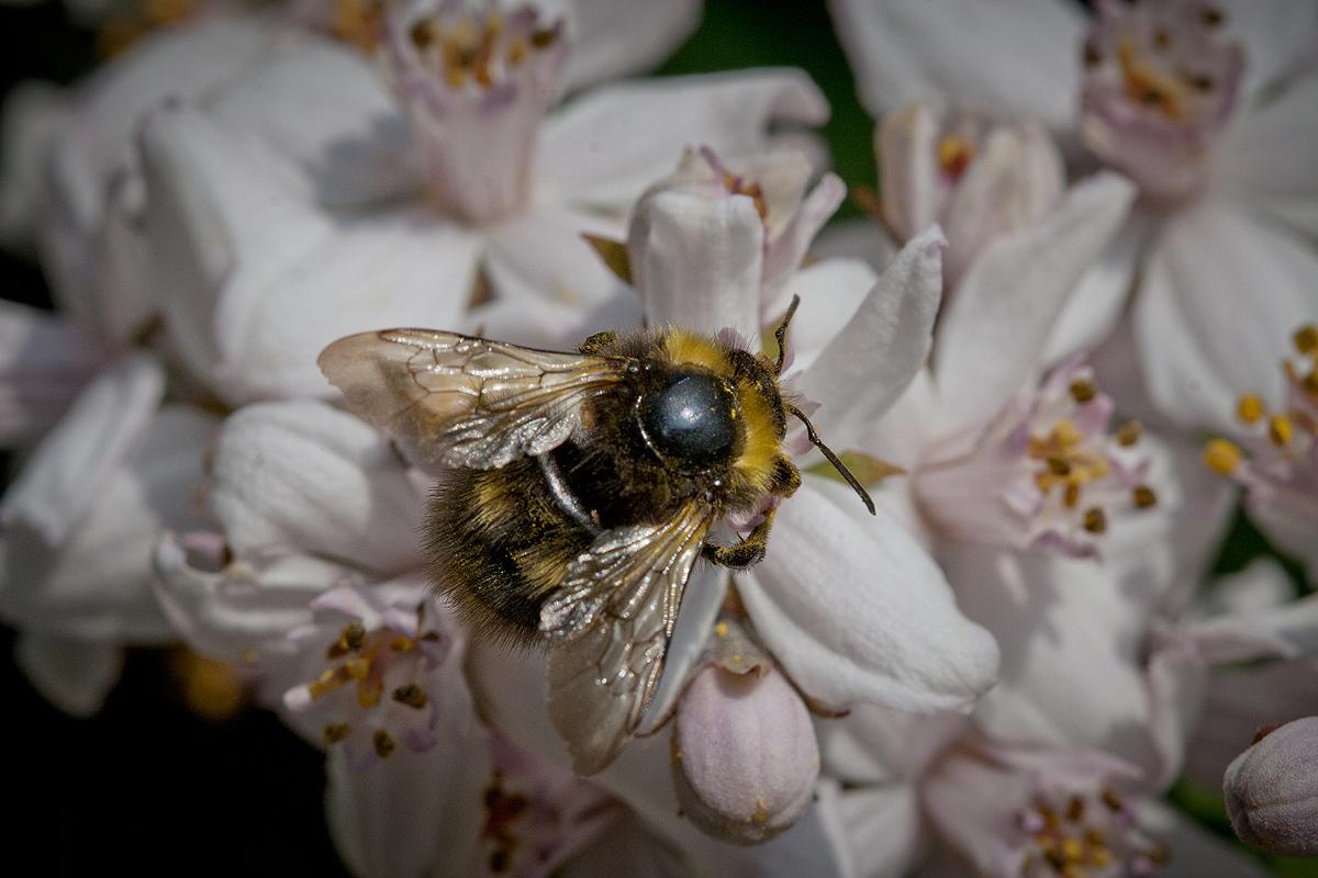 Hummel V auf Blüte